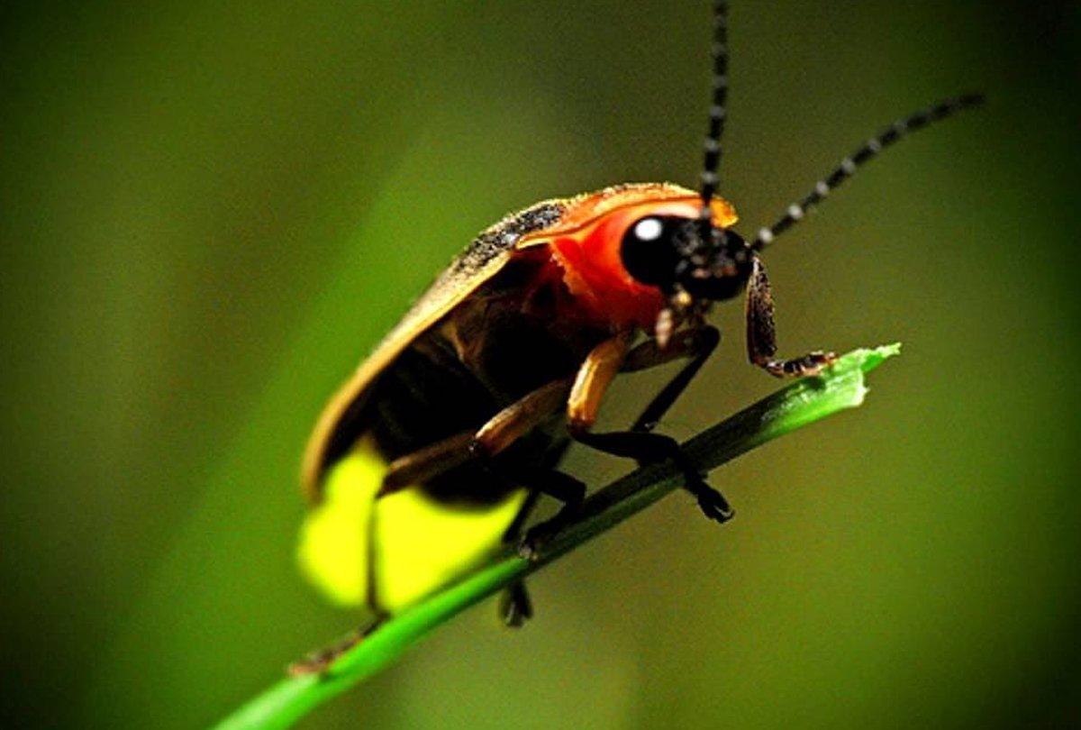 Las luciérnagas, en peligro de extinción por culpa de la contaminación lumínica