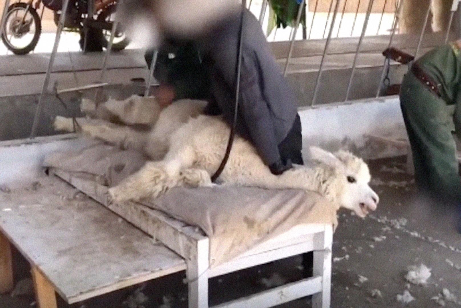 La cruel realidad que se esconde detrás de la lana de alpaca de nuestros jerséis