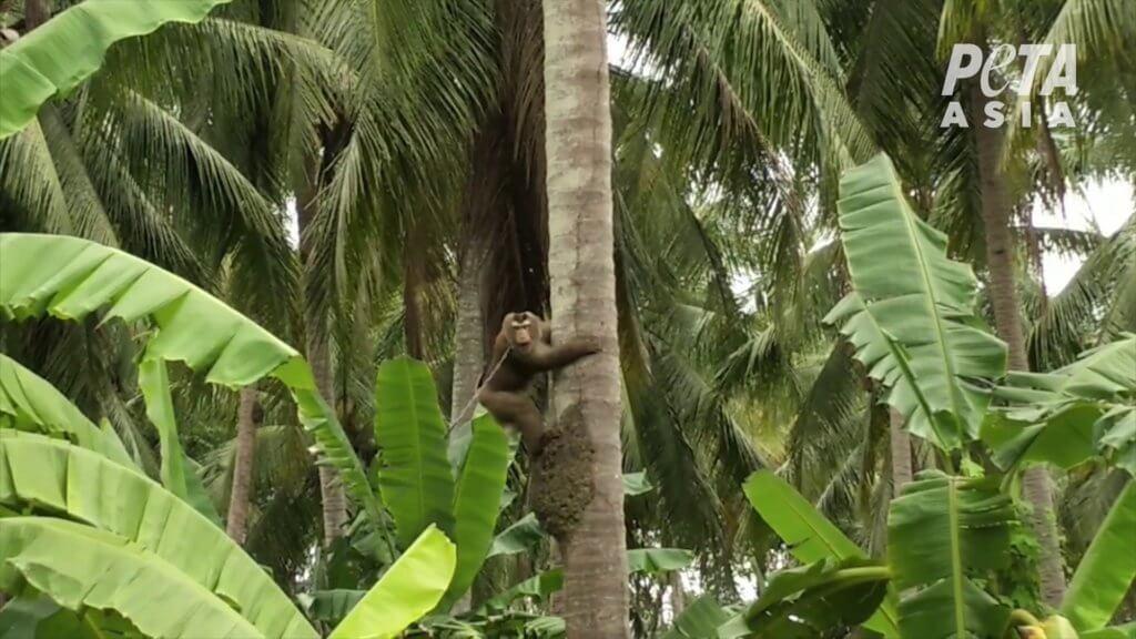 mono encadenado arbol