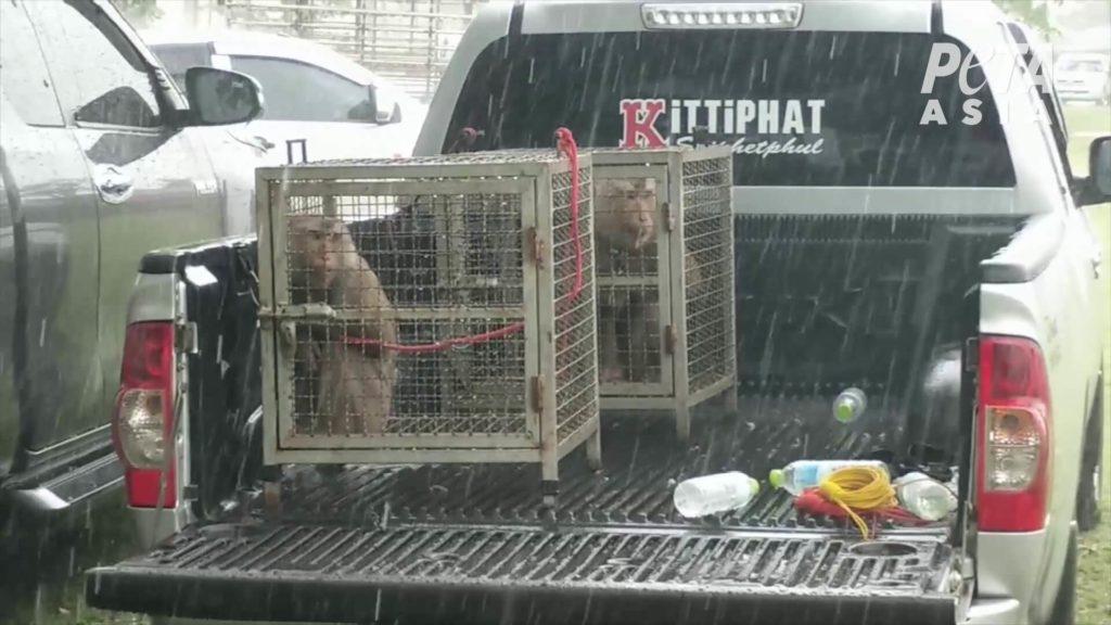 monos en jaulas estrechas