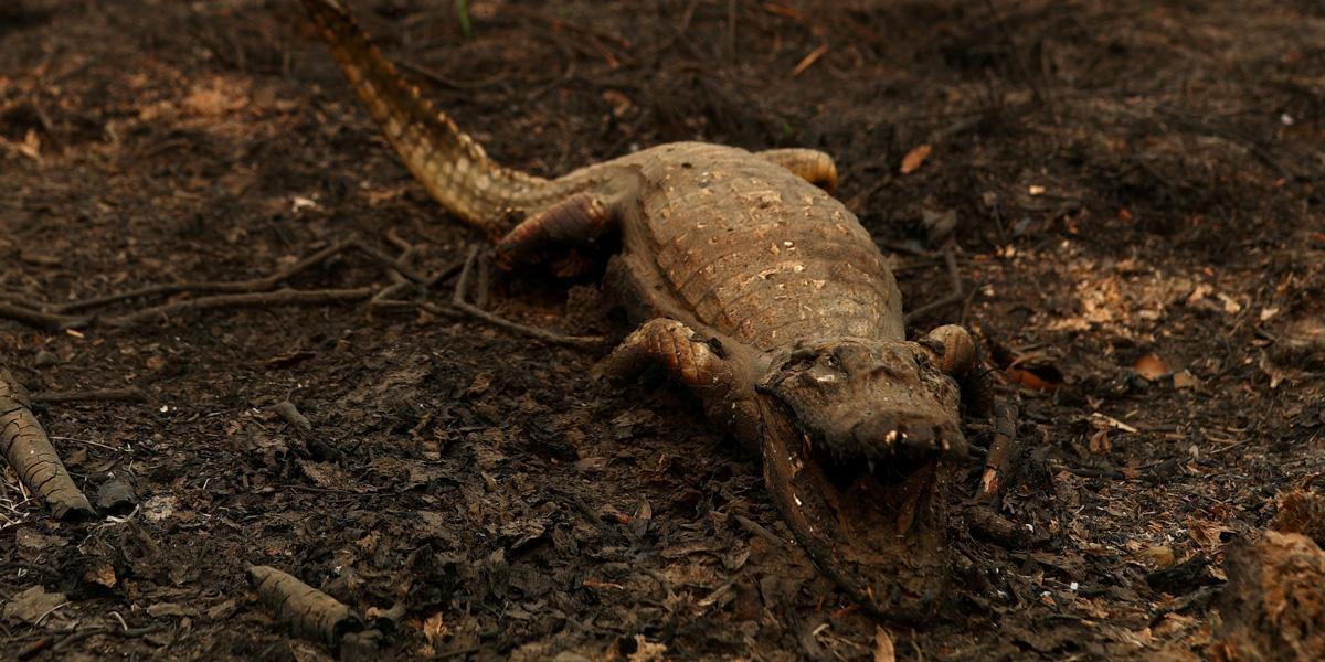 Incendios récord en la Amazonía continúan devastando especies y ecosistemas