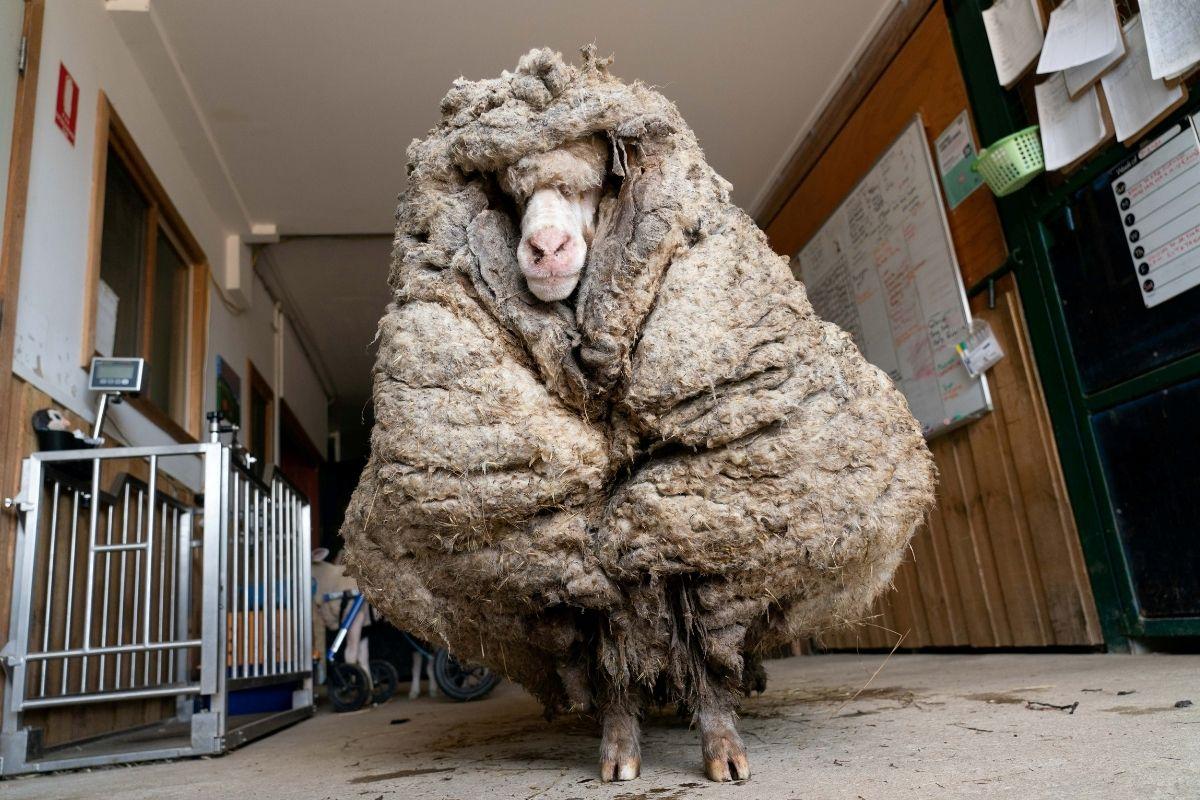 Baarack, la oveja que se perdió en un bosque por años y fue encontrada con 35 kilos de lana 🐑