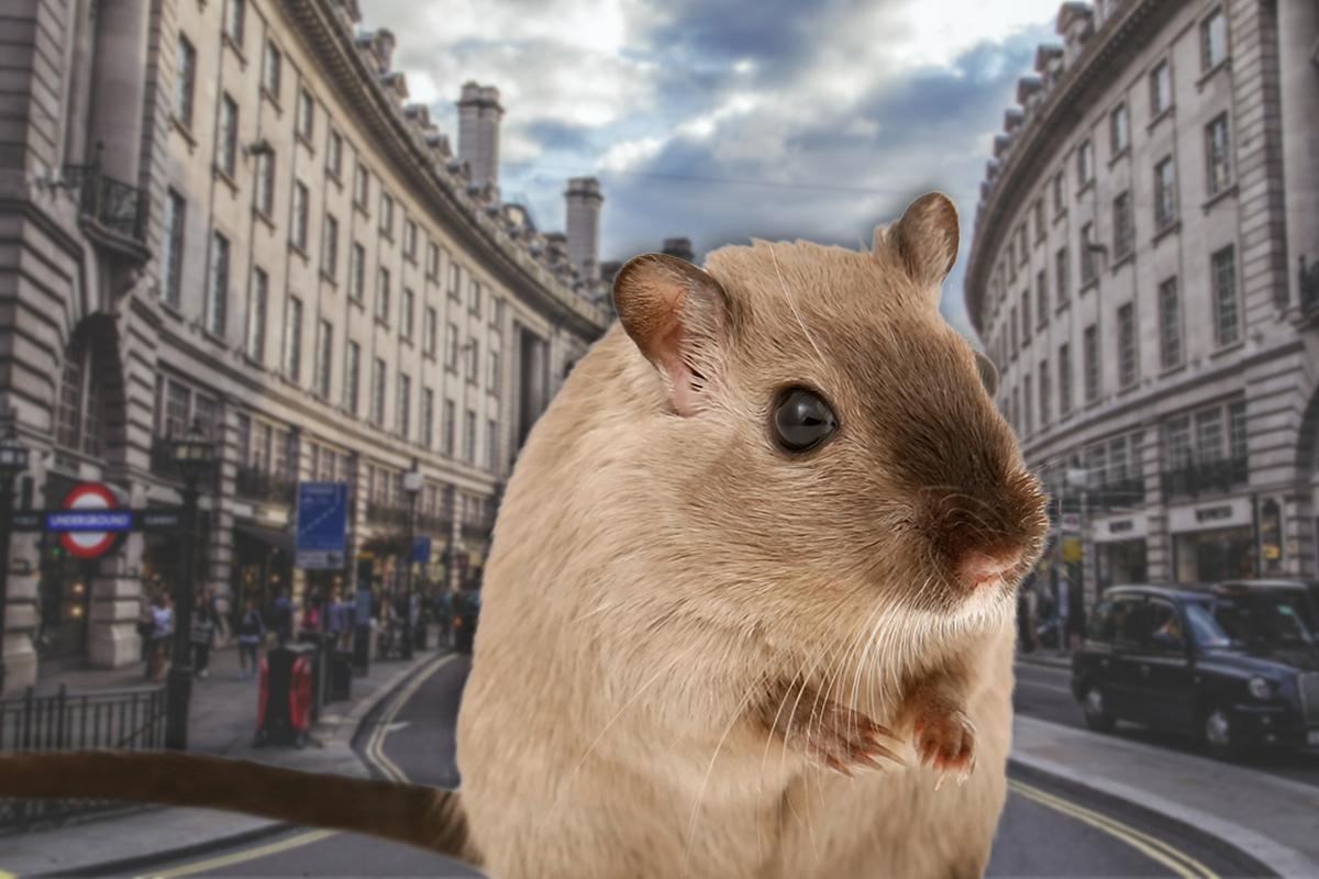20 millones de ratas: el confinamiento aumentó la población de estos roedores en Londres